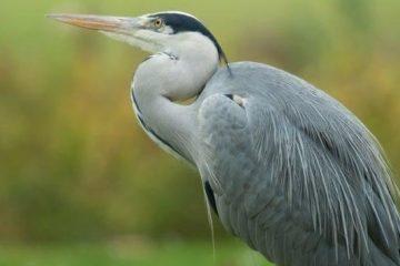 Passeio de barco para observação de aves na Ria Formosa